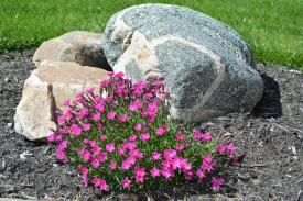 Dianthus in rock garden