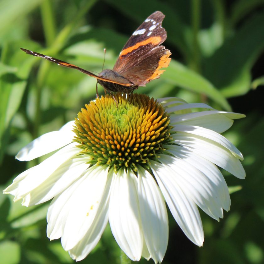 Red Admiral Butterfly a