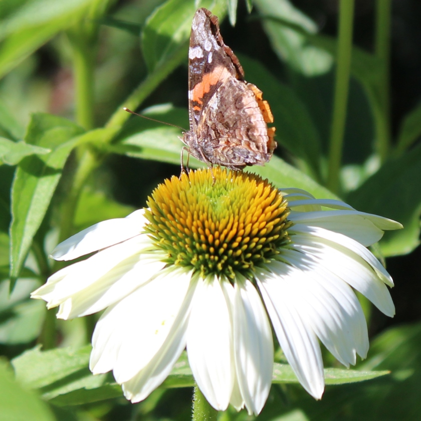 Red Admiral Butterfly b