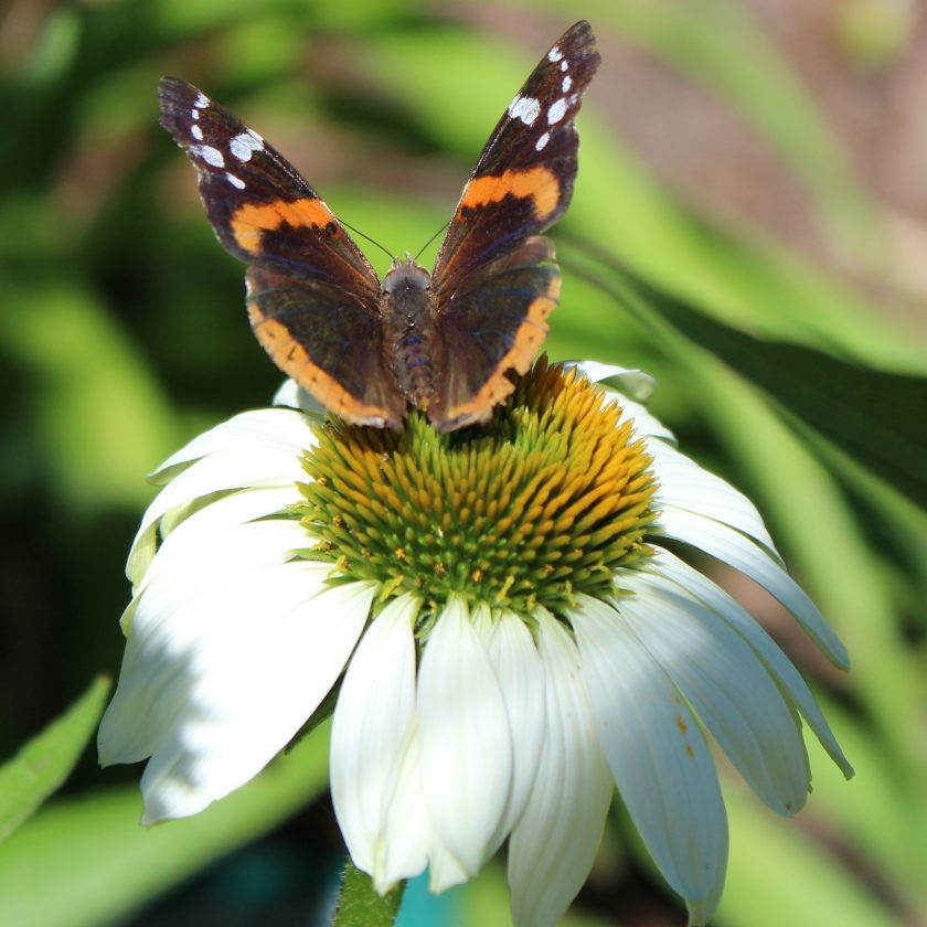 Red Admiral Butterfly c