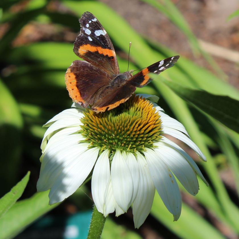 Red Admiral Butterfly d