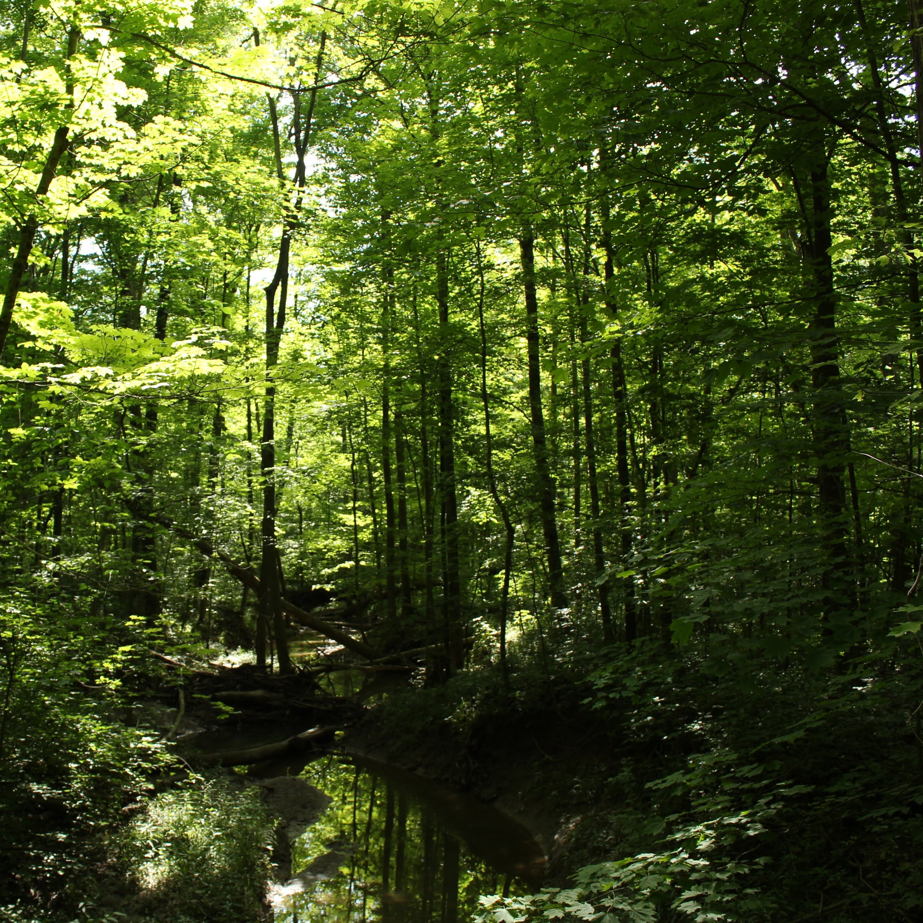Ohio forest in summer