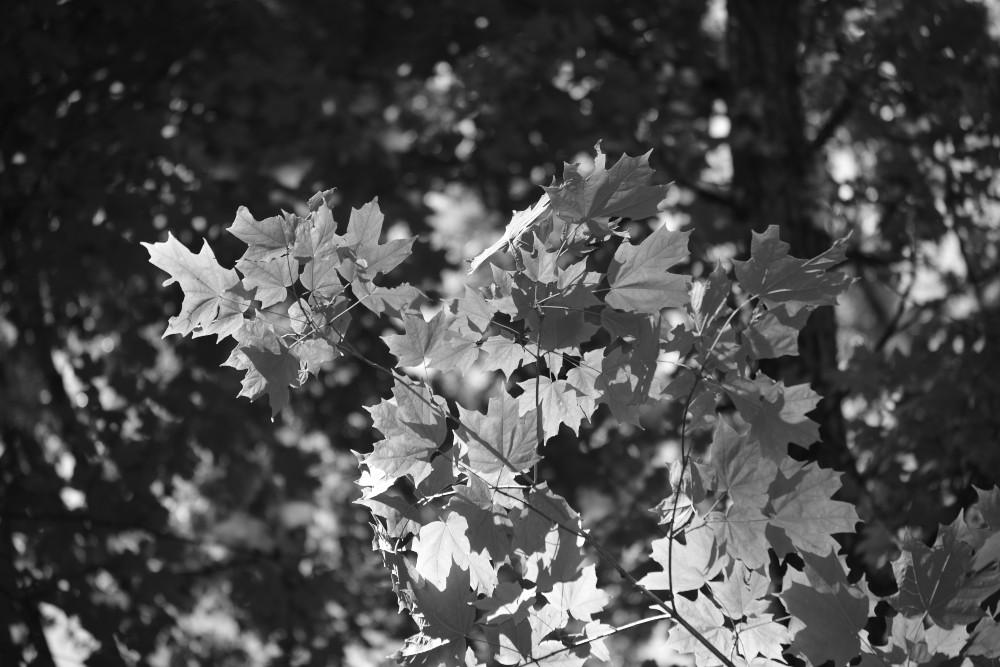 Monochrome sugar maple leaves